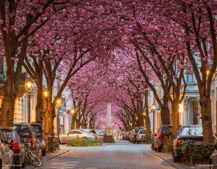 خیابان شکوفه گیلاس در بون، آلمان